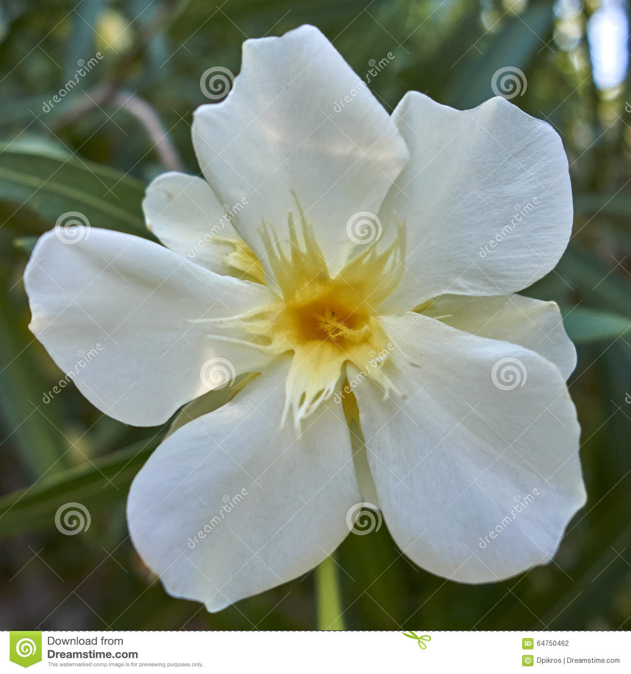 One White Oleander Flower Closeup Stock Photo Image Of Flower