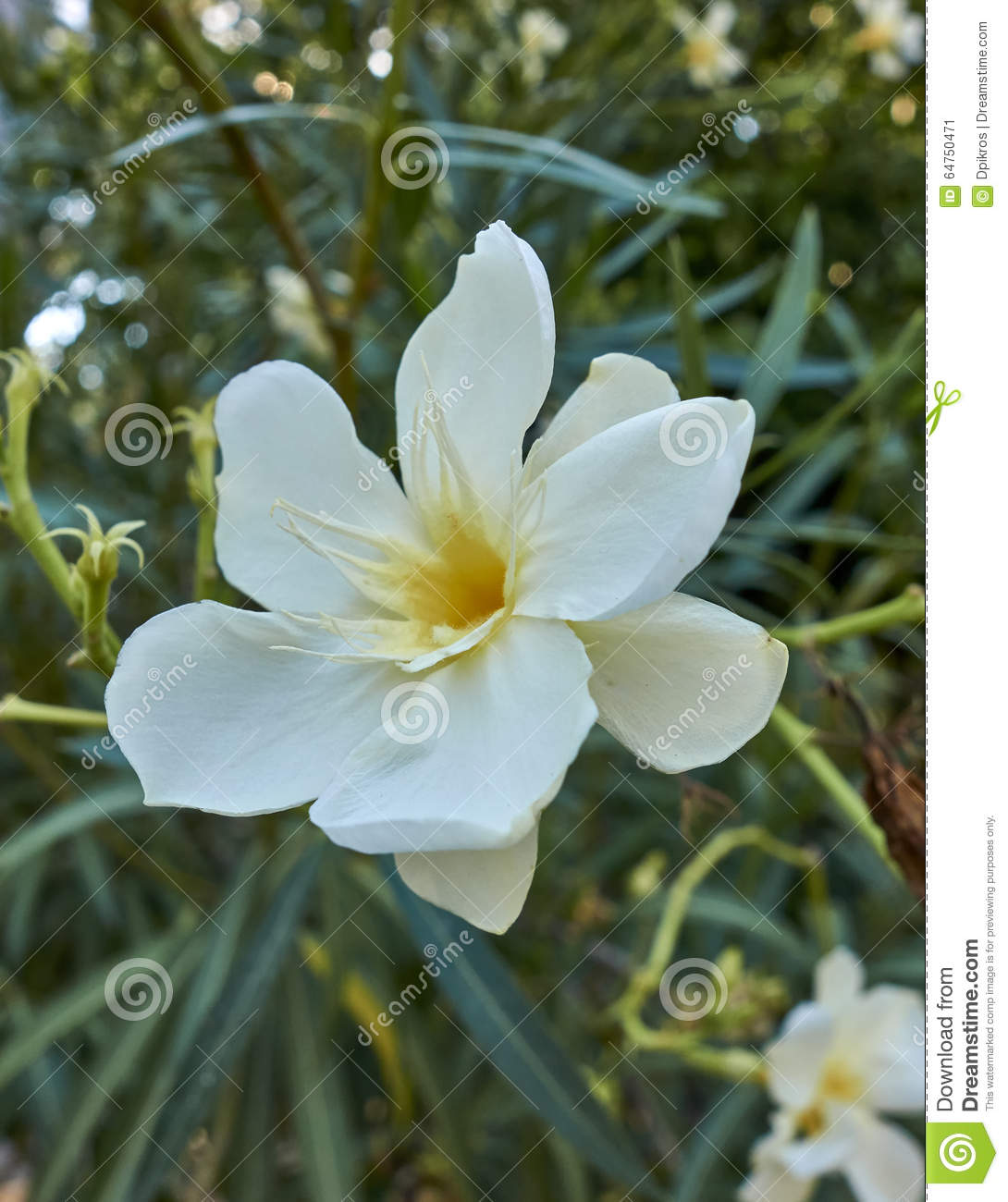 One White Oleander Flower Closeup Stock Image Image Of Leaf