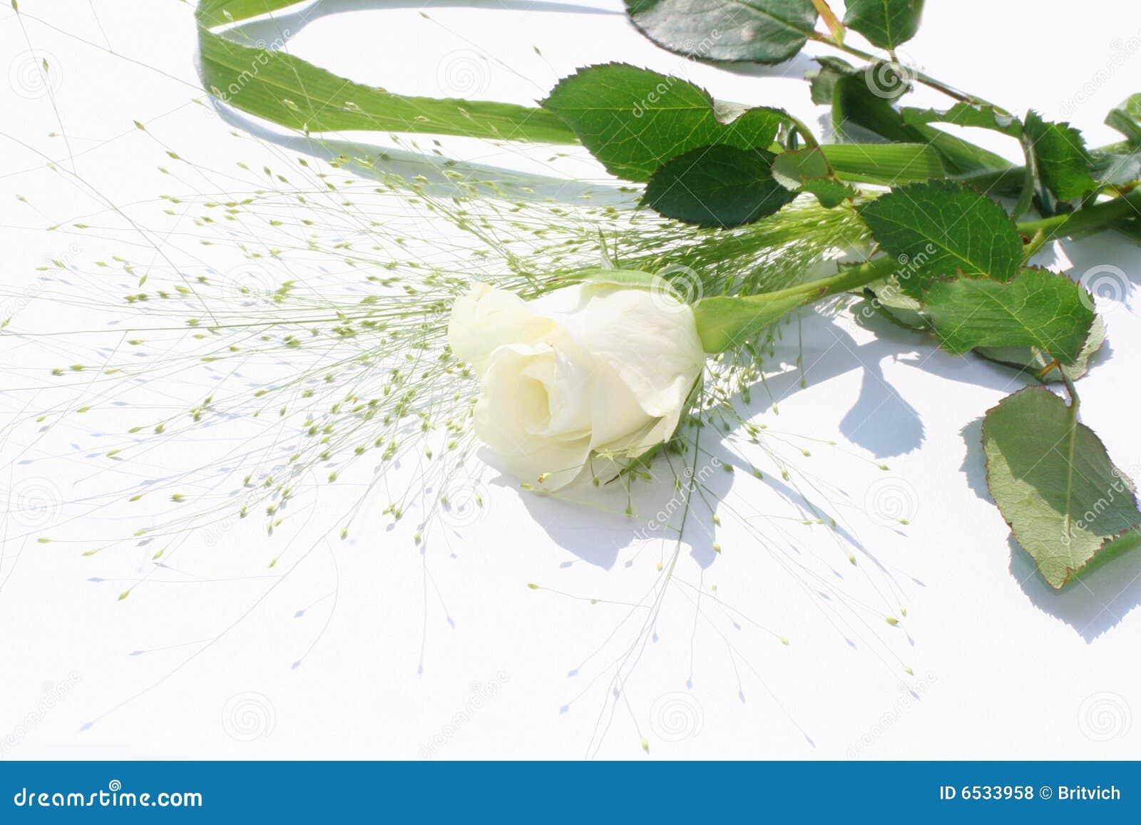 One White Rose One white rose over white