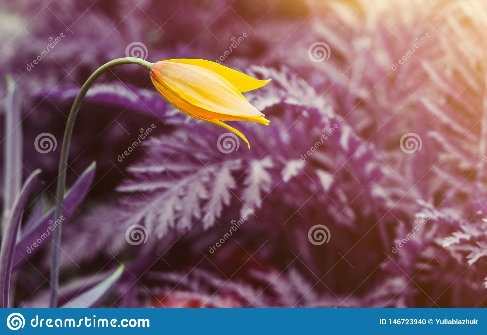 One yellow wild tulip against surreal purple background