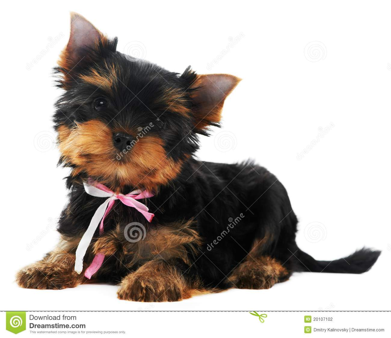 One Yorkshire Terrier (of three