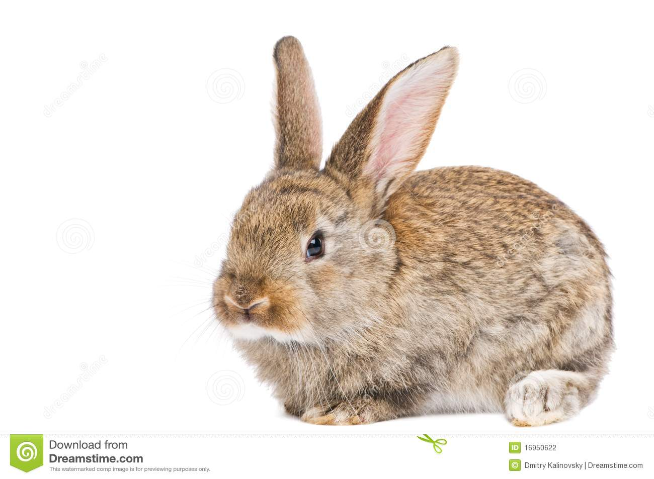 One Young Brown Rabbit Stock Photography - Image: 16950622
