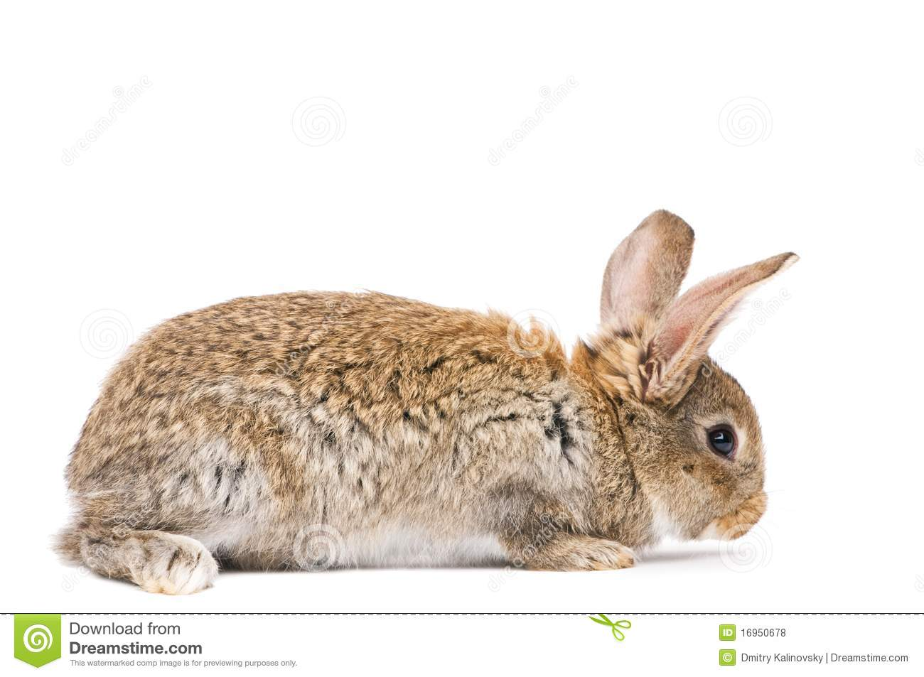 One Young Brown Rabbit Royalty Free Stock Photos - Image ...