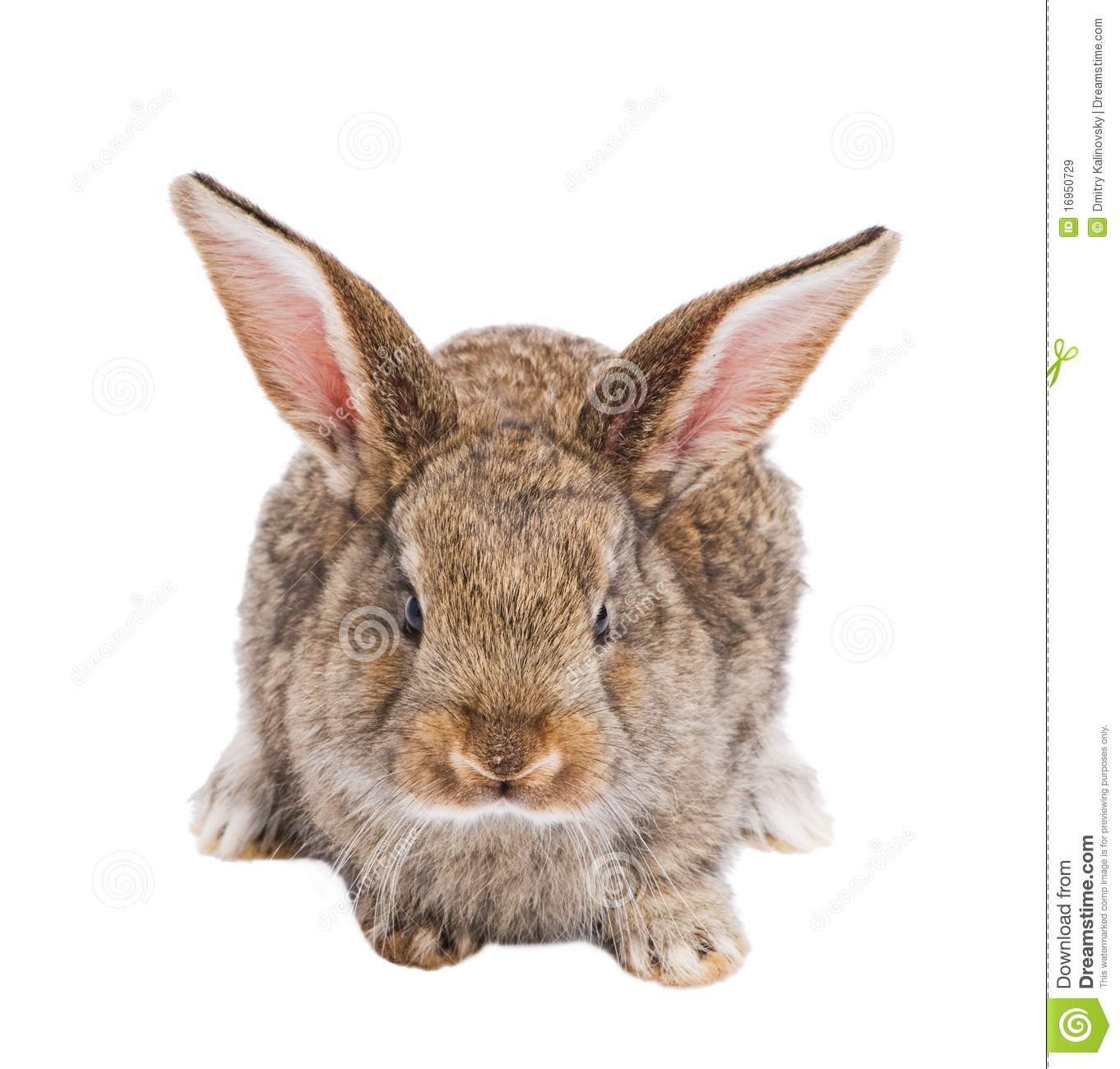One Young Brown Rabbit Royalty Free Stock Images - Image ...