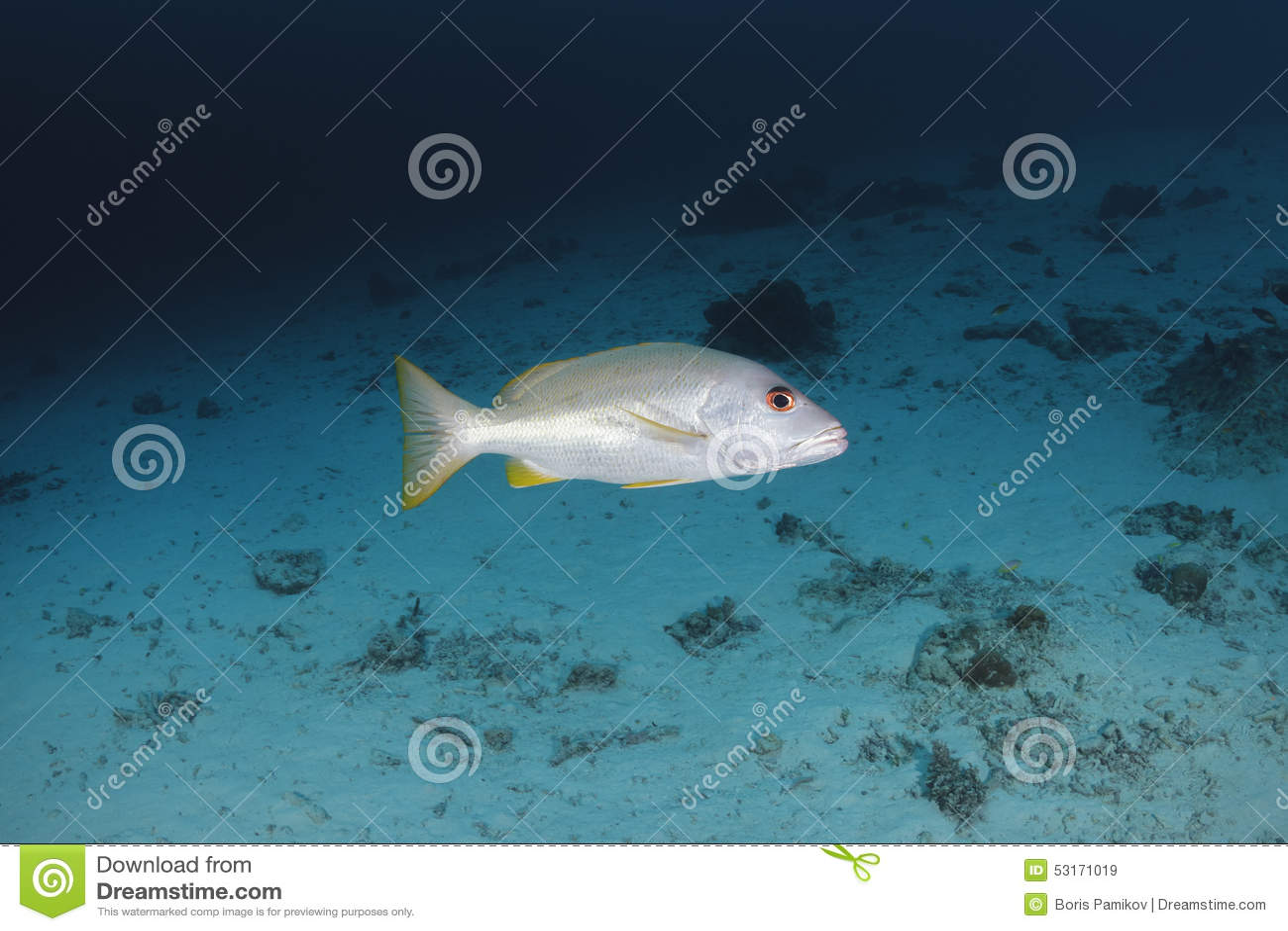 Onespot攫夺者swimm在安达曼海中,泰国水