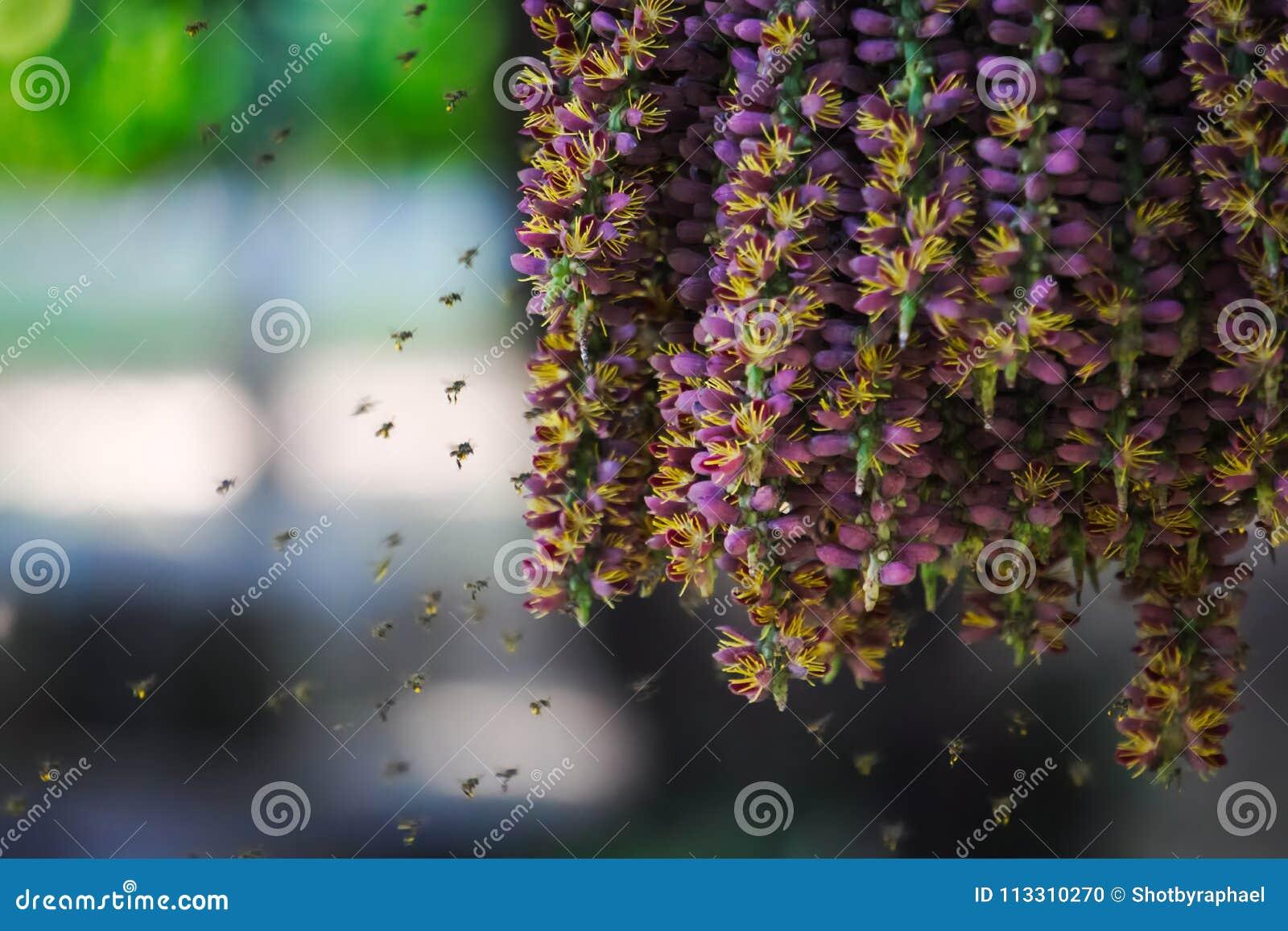 Ongebruikelijk mooie scène van zwermende bijen die van het stuifmeel van een hangende groep purpere bloemen van een palminstallat