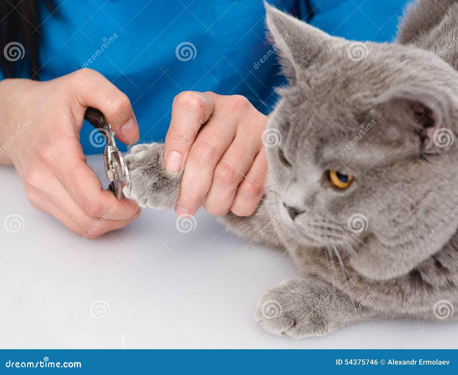 Ongles de pied de chat de coupe de v t rinaire sur le fond blanc - Couper les ongles des chats ...