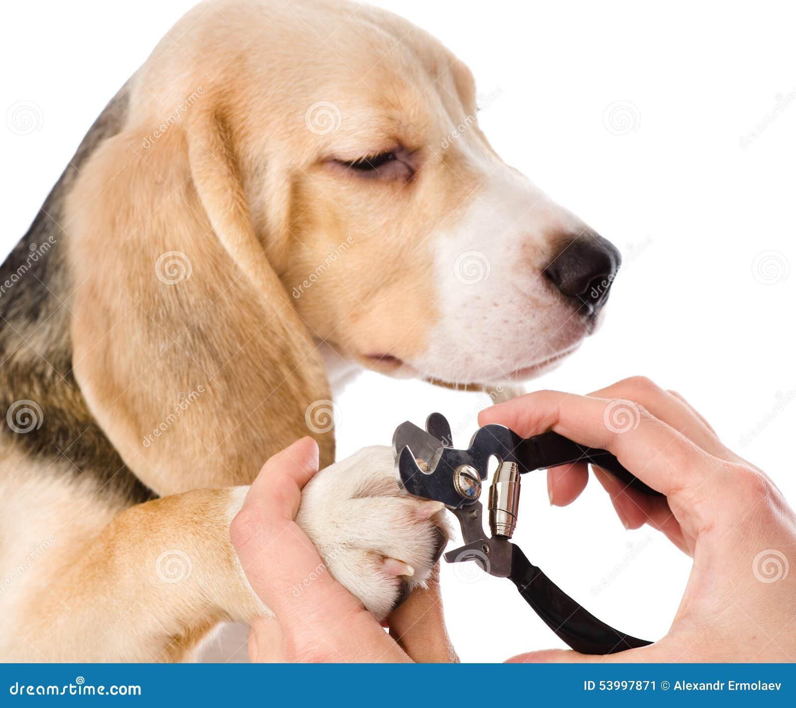 Ongles de pied de chien de coupe de v t rinaire d - Peut on couper les ongles des chiens ...