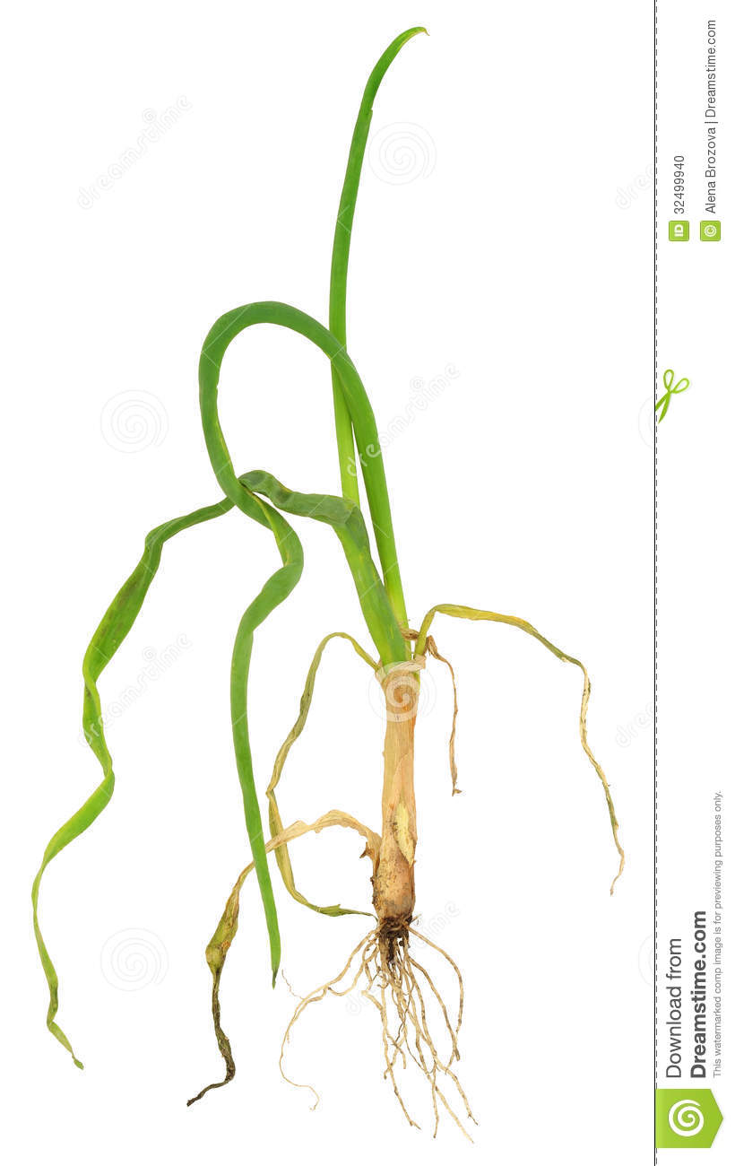 Onion attacked by onion eelworm, Ditylenchus dipsaci