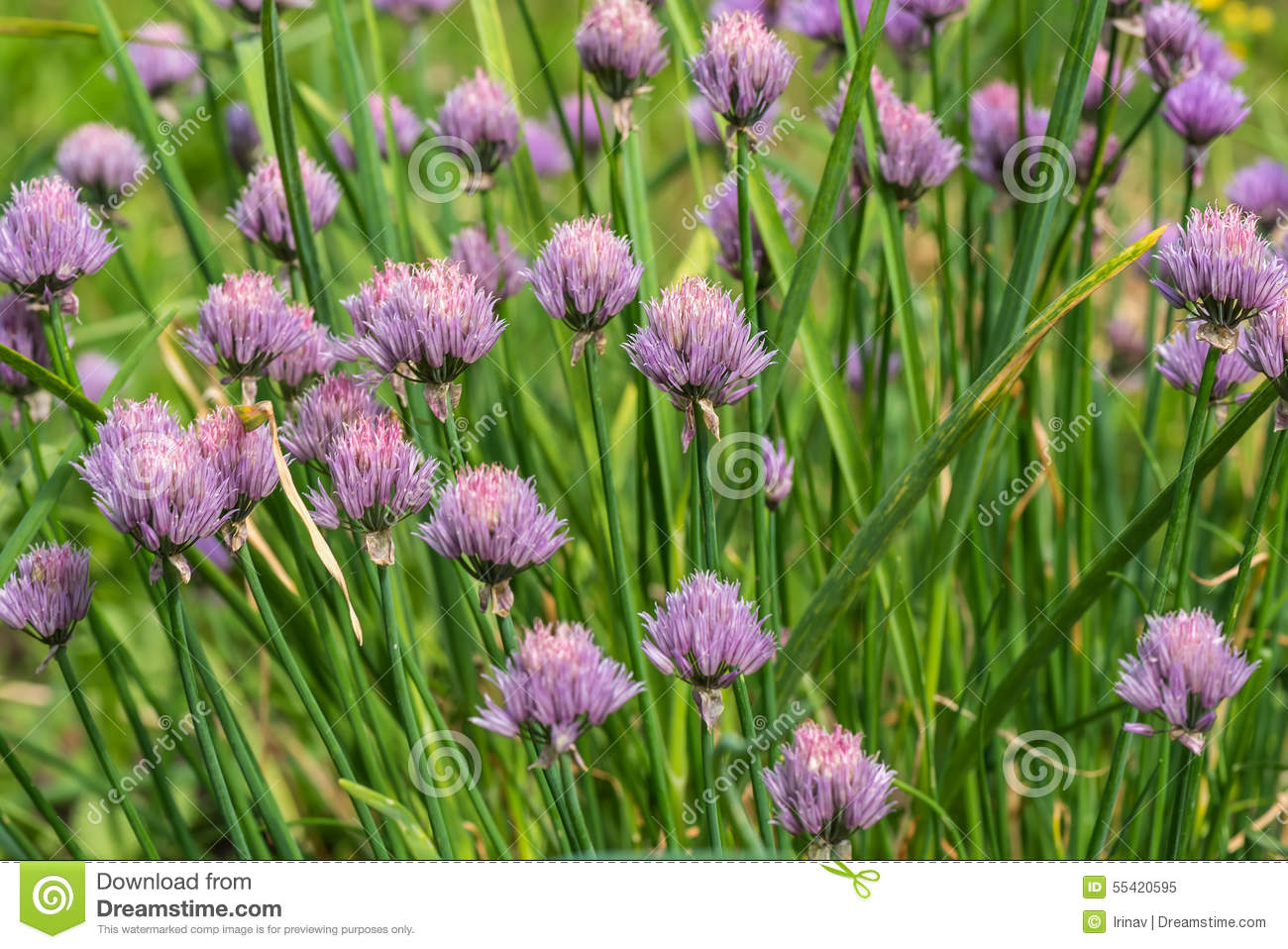 Onion flower plant vegetables stock photo image 55420595 - Flowers not to plant with vegetables ...