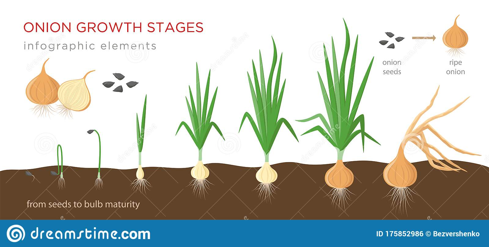 Onion Plant Growing Stages From Seeds To Ripe Onion ...