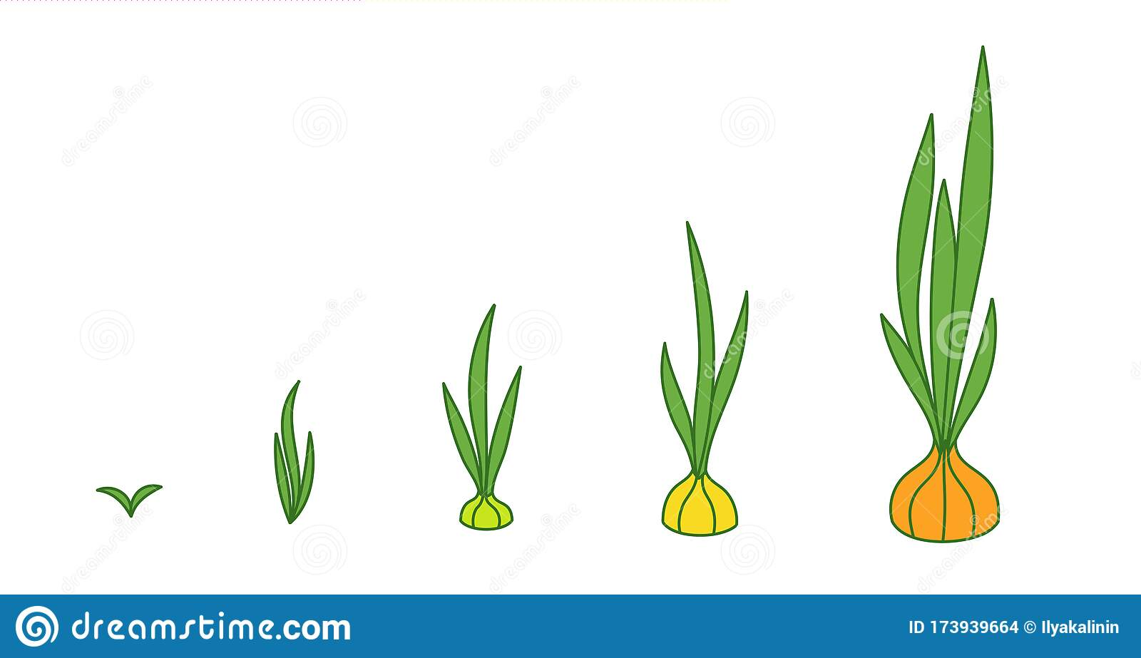 Onion Plant. Growth Stages. Ripening Period. The Life ...