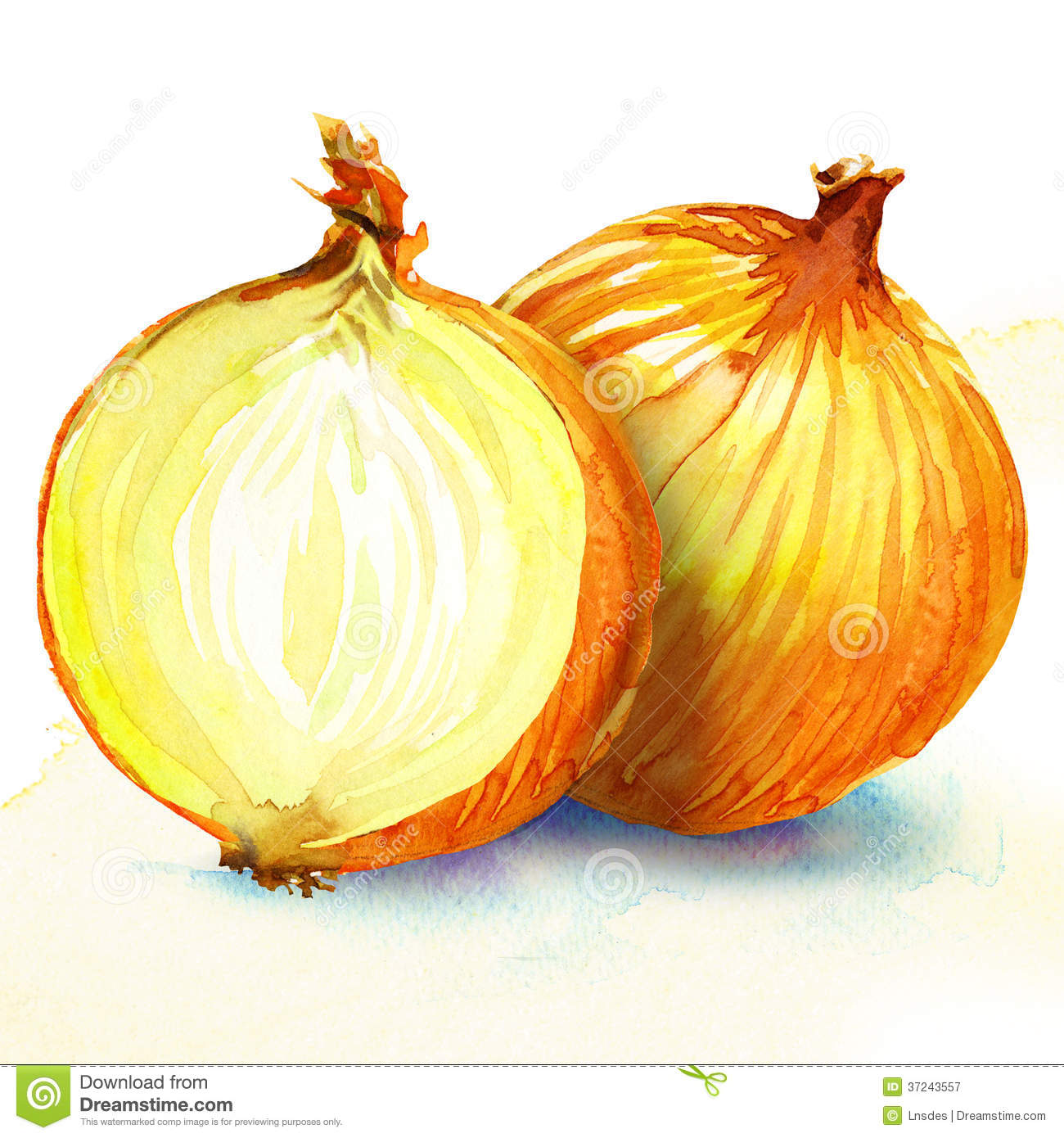 Onion Watercolor Painting On White Background Royalty