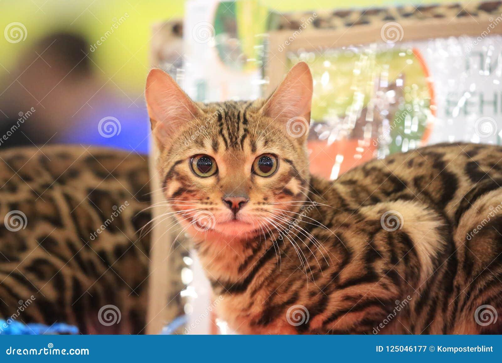 Ono wpatruje się i siedzi młody Bengalia kot
