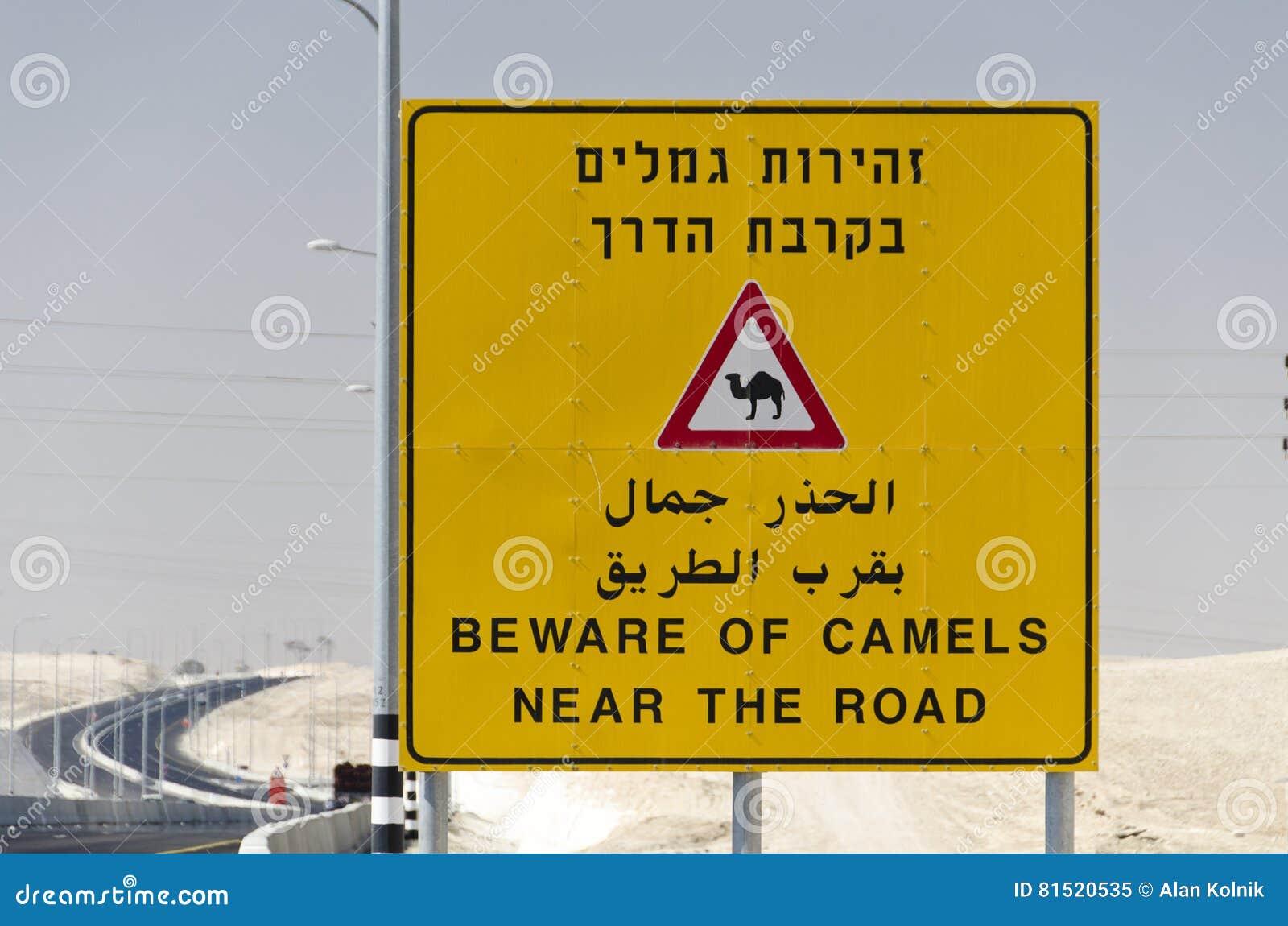 Ono wystrzega się wielbłądy Blisko drogi