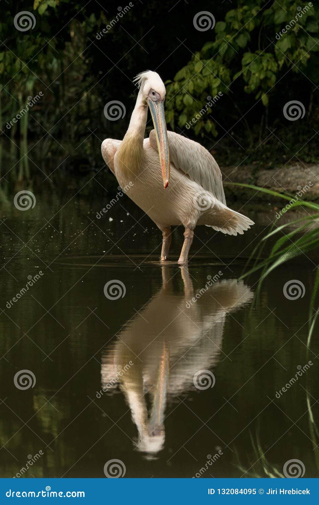 Onocrotalus en el parque zoológico, pelícano a solas del Pelecanus del pelícano que prepara sus plumas, pájaro rosáceo hermoso ce