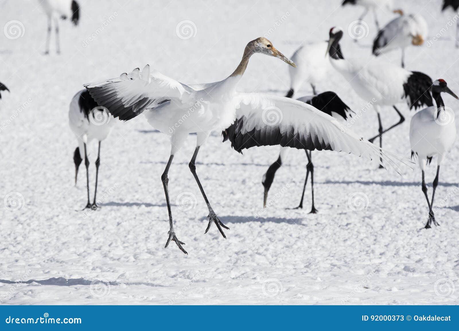 Onrijp Rood Bekroond Crane Imitating Courtship Dance