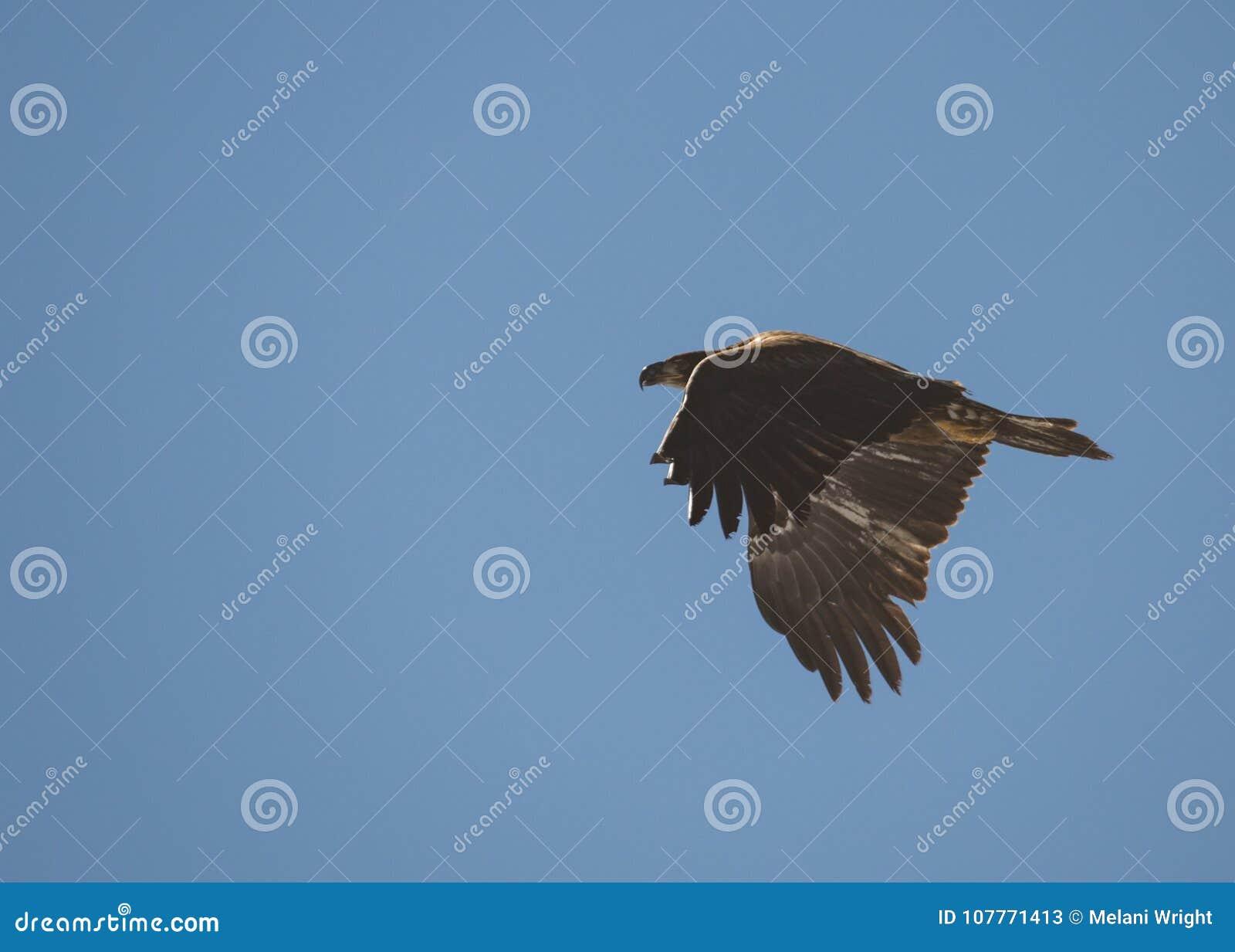Onrijpe kale adelaar tijdens de vlucht met omhoog vleugels