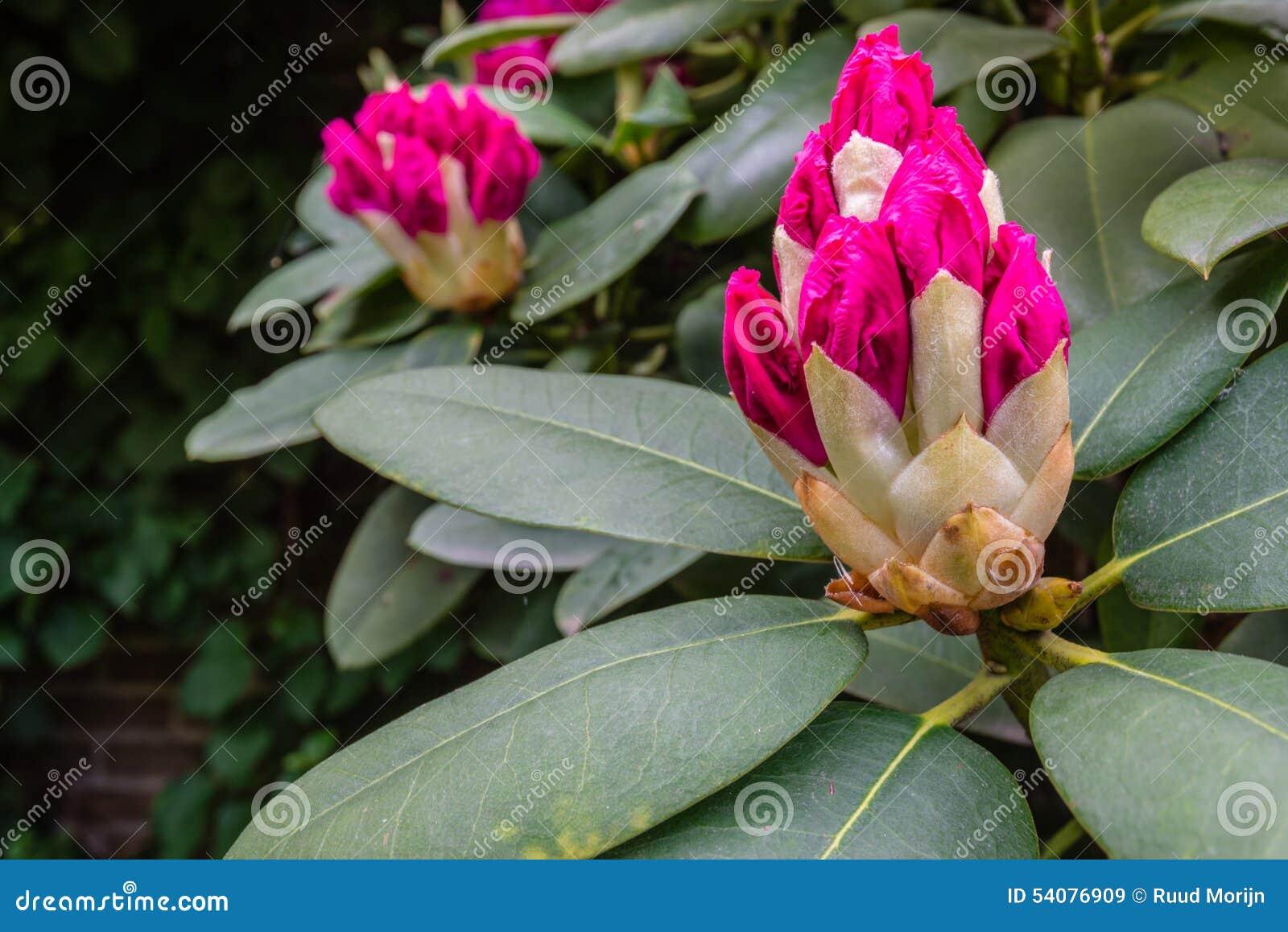 Ontluikende Rododendronknoppen van het sluiten