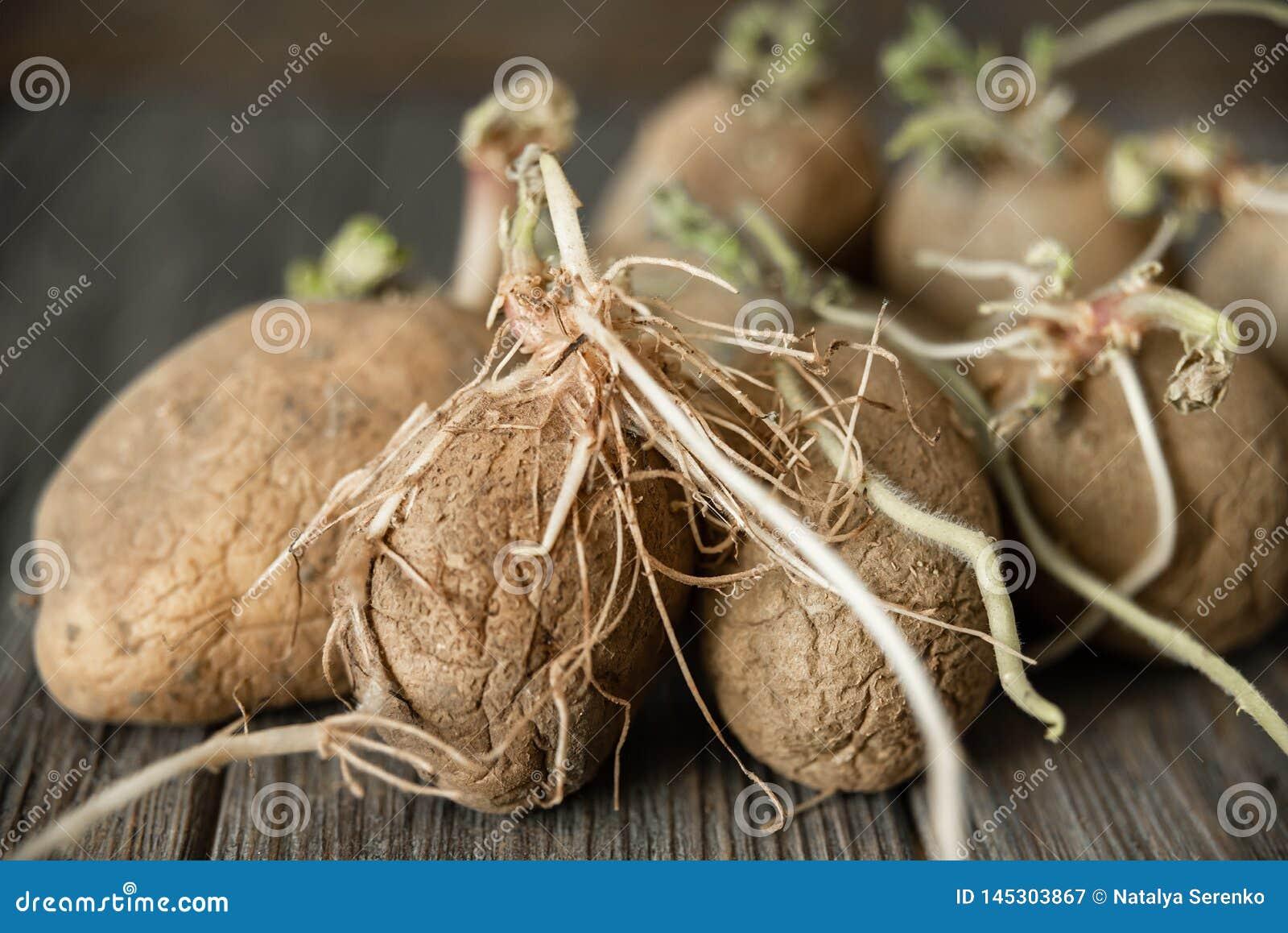 Ontsproten lelijke organische aardappel op houten achtergrond