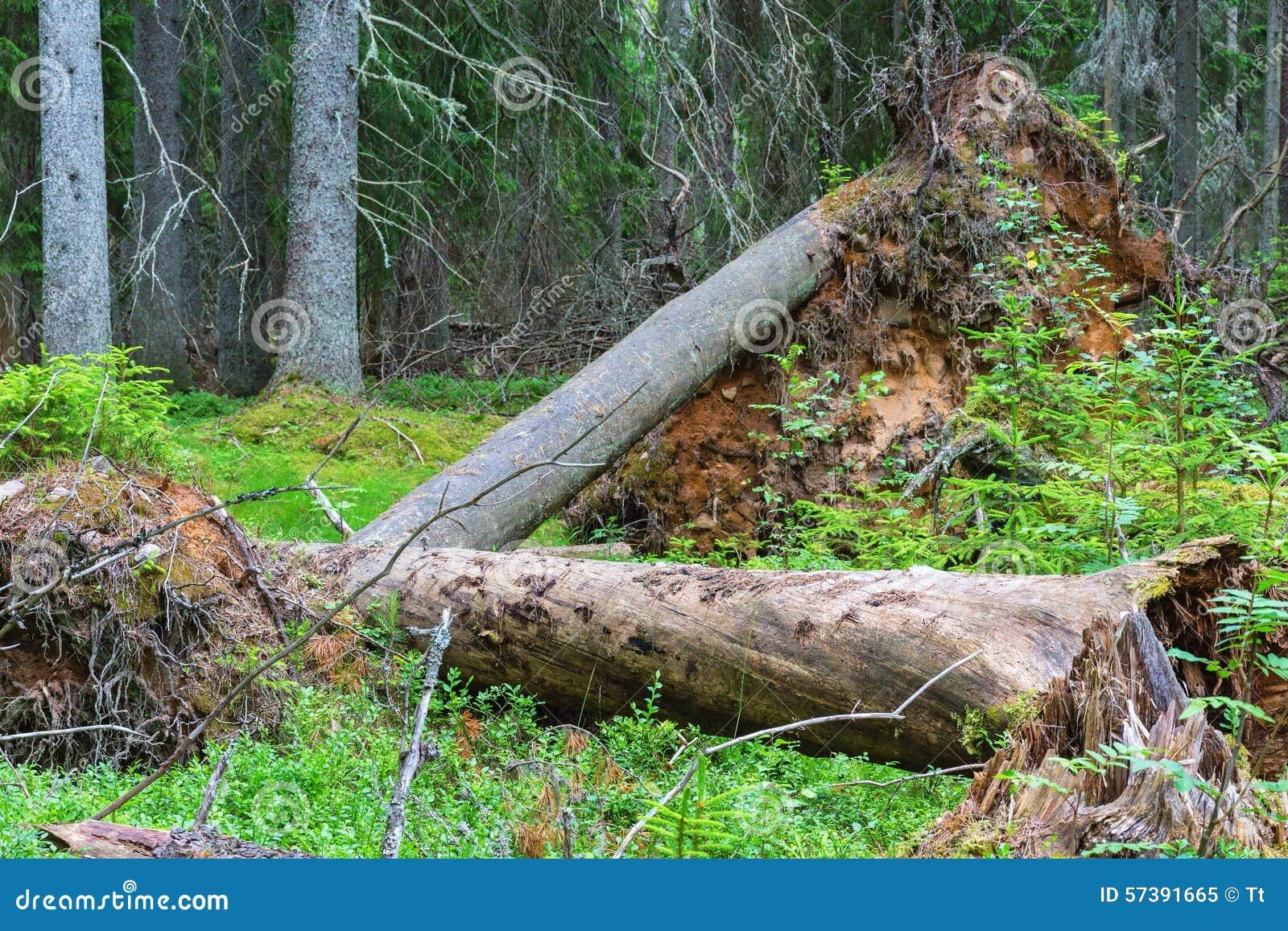 Ontwortelde boom in een oud bos