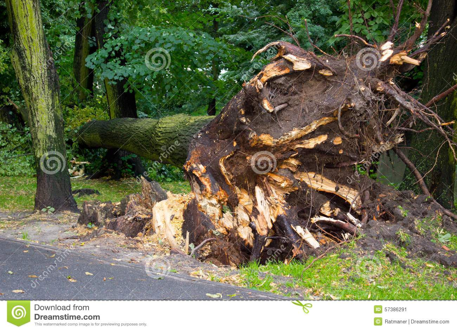 Ontwortelde boom na onweer in park
