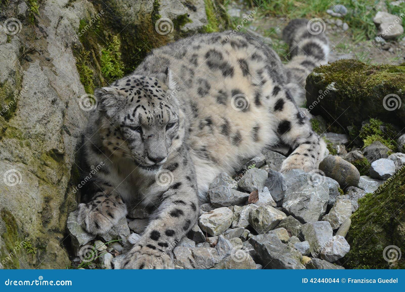 Onza/Panthera Uncia