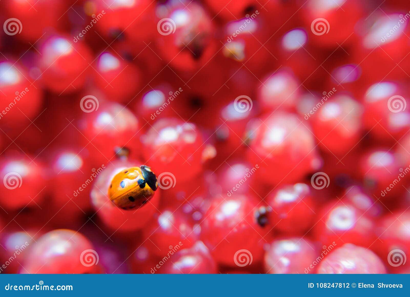 Onzelieveheersbeestjeclose-up op een rode aalbes