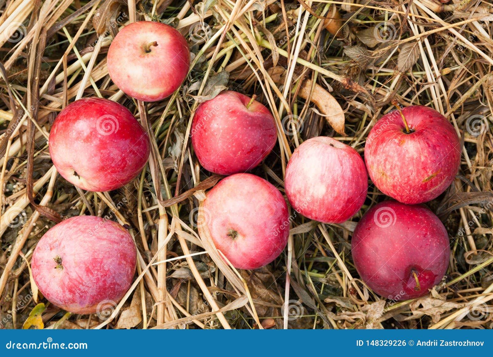 Oogst van de de herfst de verse rode appel, ecologie heerlijke boomgaard