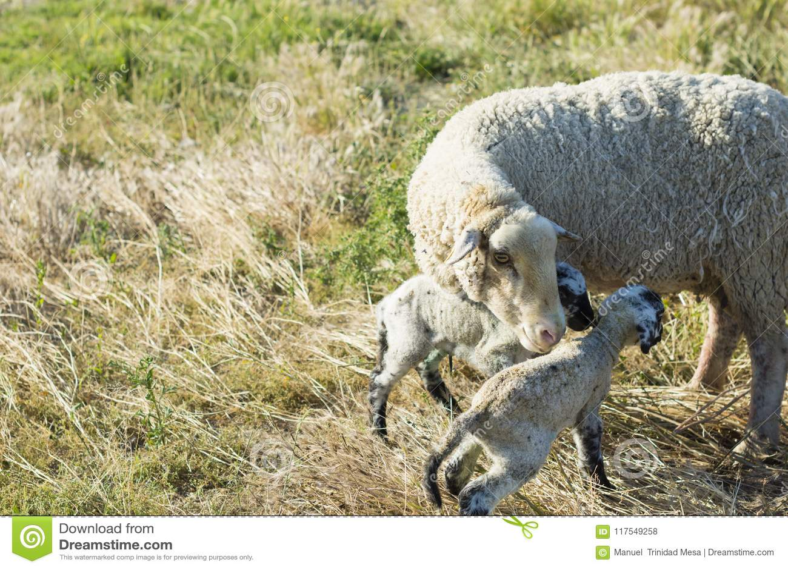 Ooi met twee Lammeren