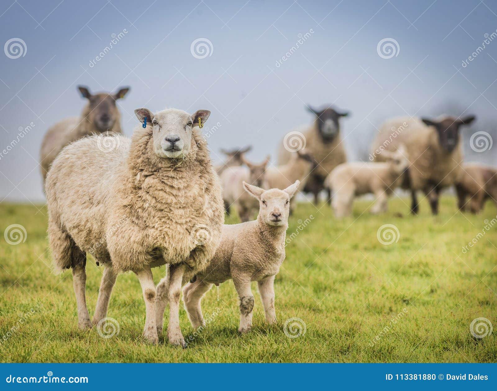 Ooi op een gebied met het het jonge lam van ` s