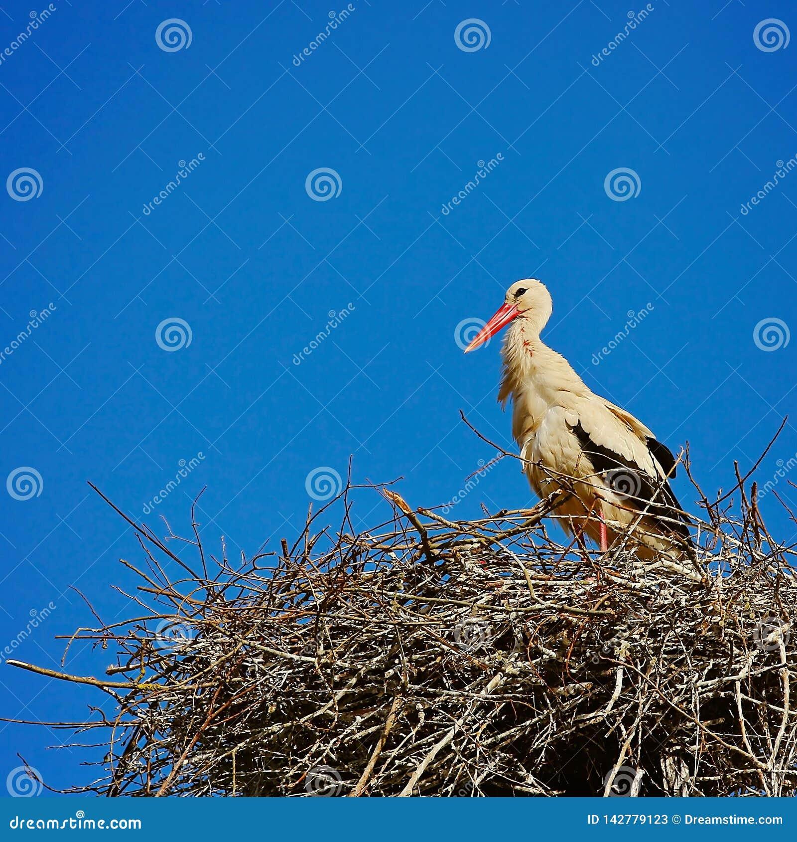 Ooievaar en nest