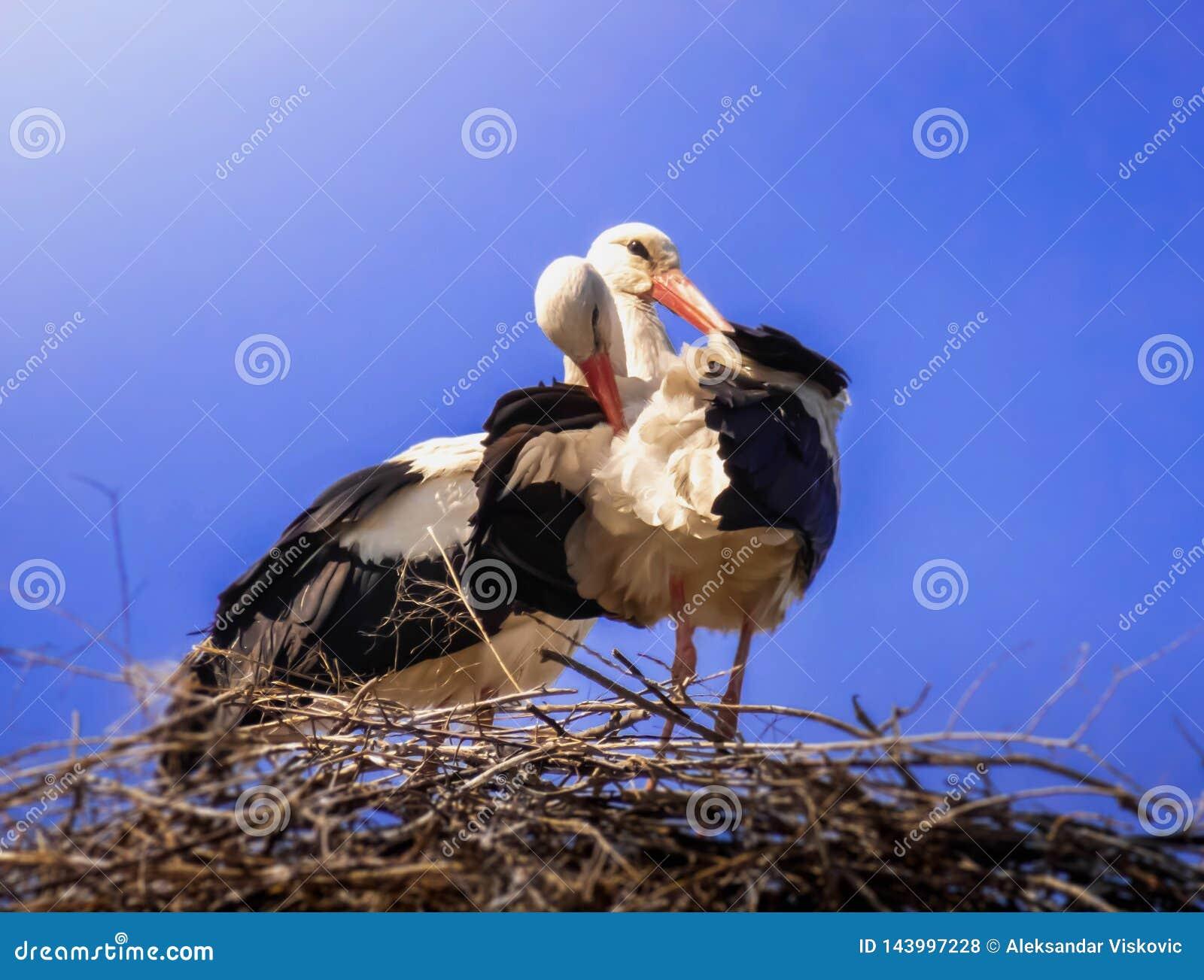 Ooievaars in zijn nest op blauwe hemel