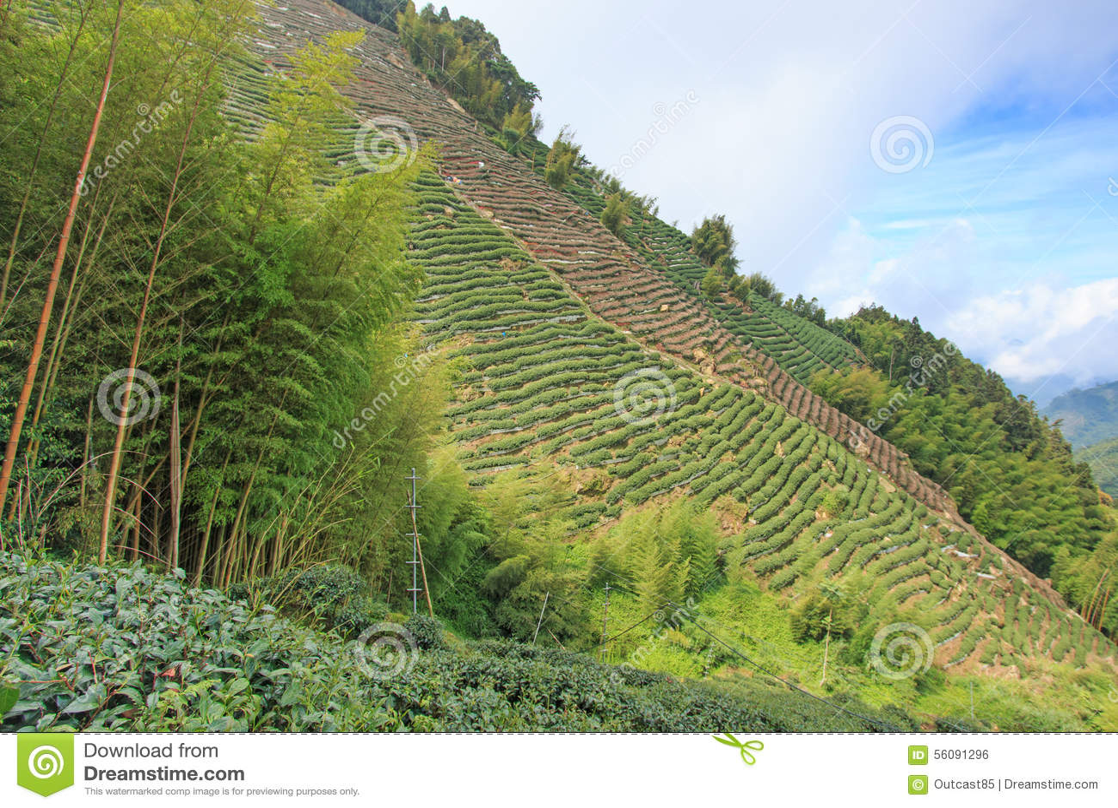 Oolong Herbaciana plantacja w Tajwan