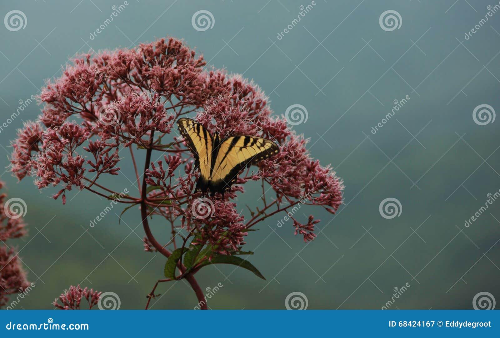 Oostelijk Tiger Swallowtail Butterfly