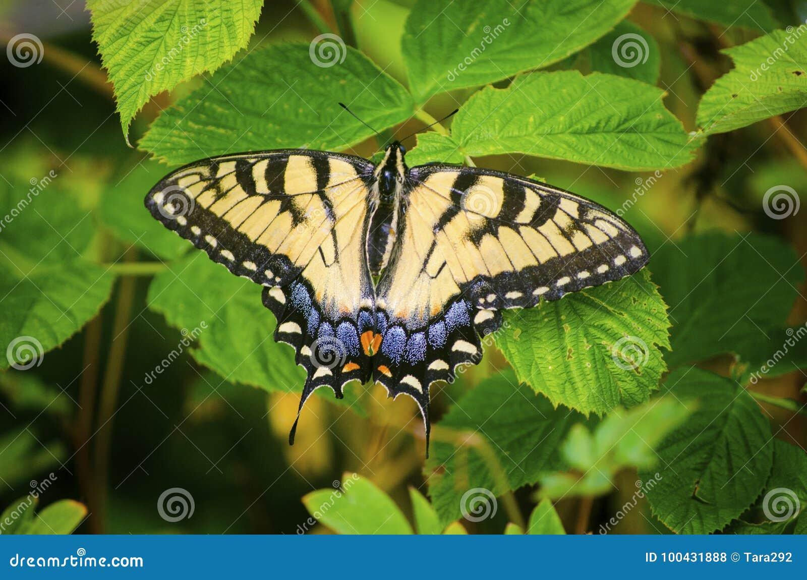 Oostelijk Tiger Swallowtail Butterfly op de bladeren van de frambozenstruik