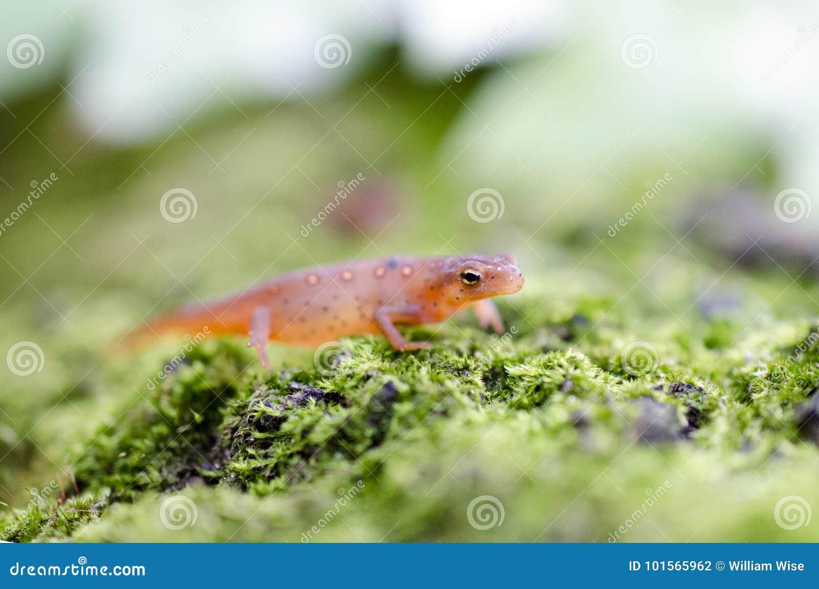 Oostelijke Bevlekte Newt, Rode eftsalamander