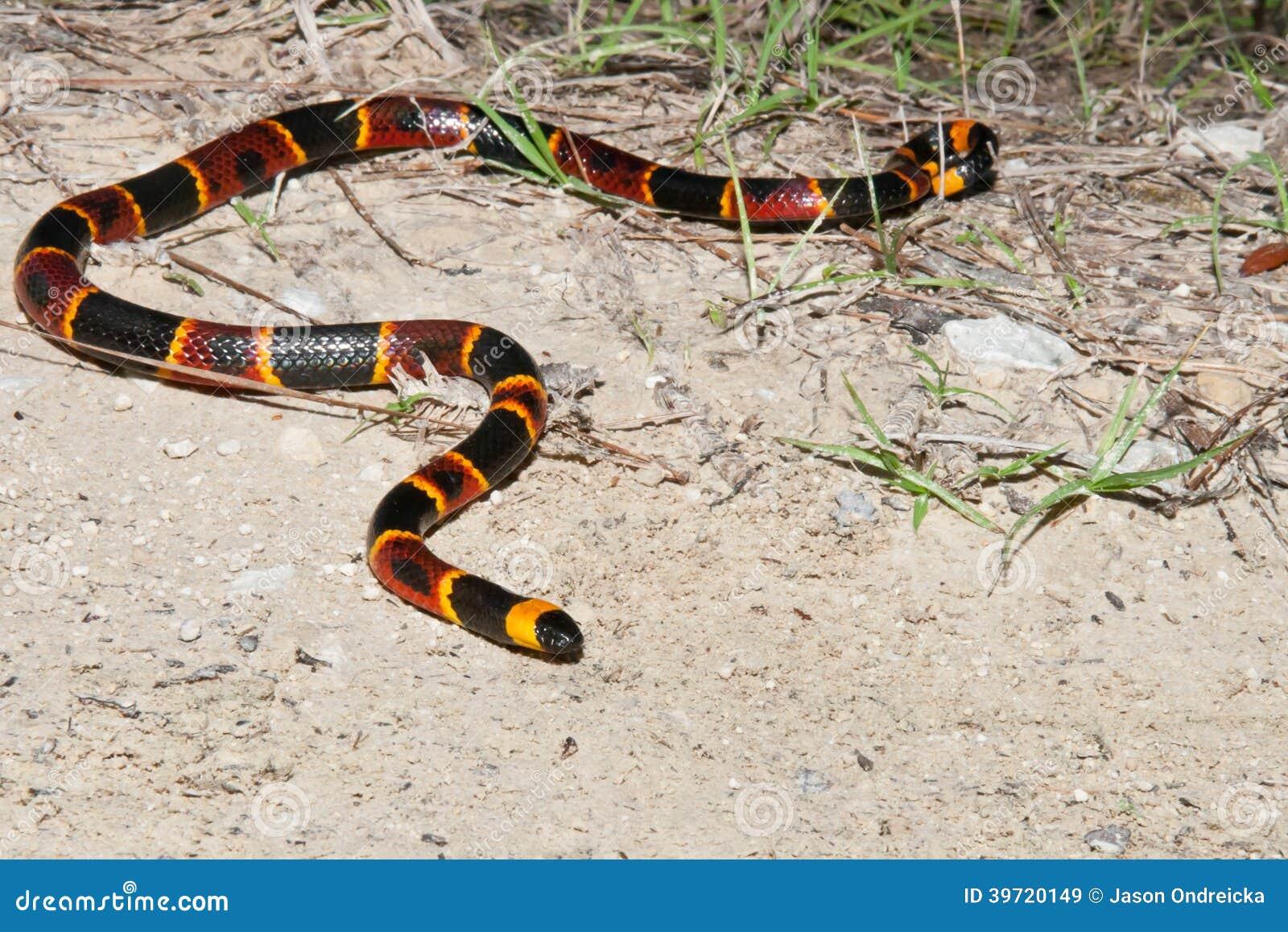 Oostelijke Coral Snake