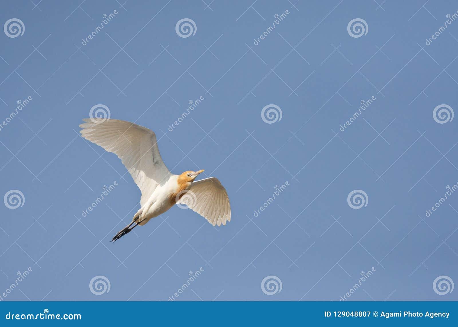 Oostelijke Koereiger, восточный Egret скотин, coromandus Bubulcus