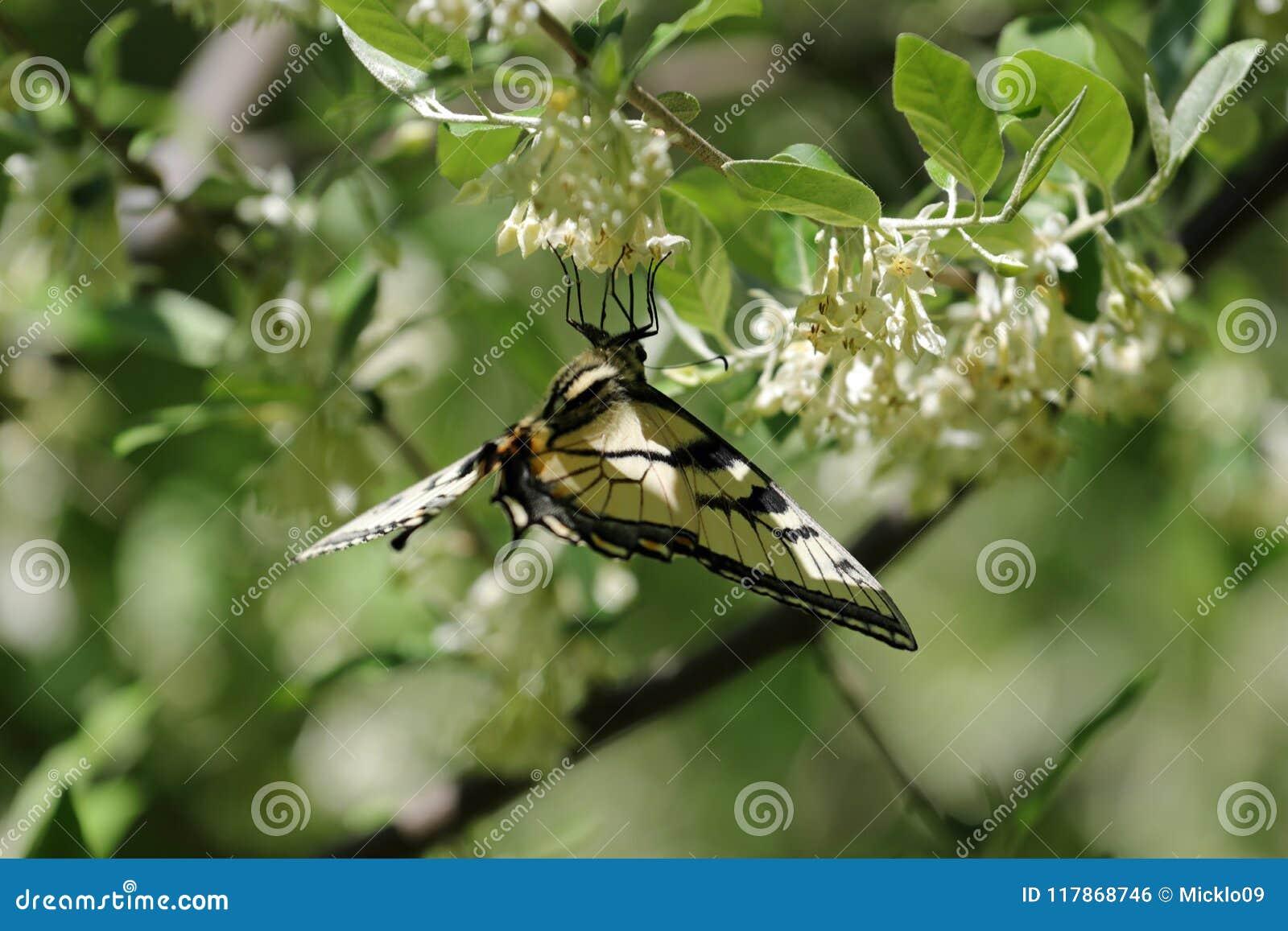 Oostelijke tijger swallowtail bovenkant - neer