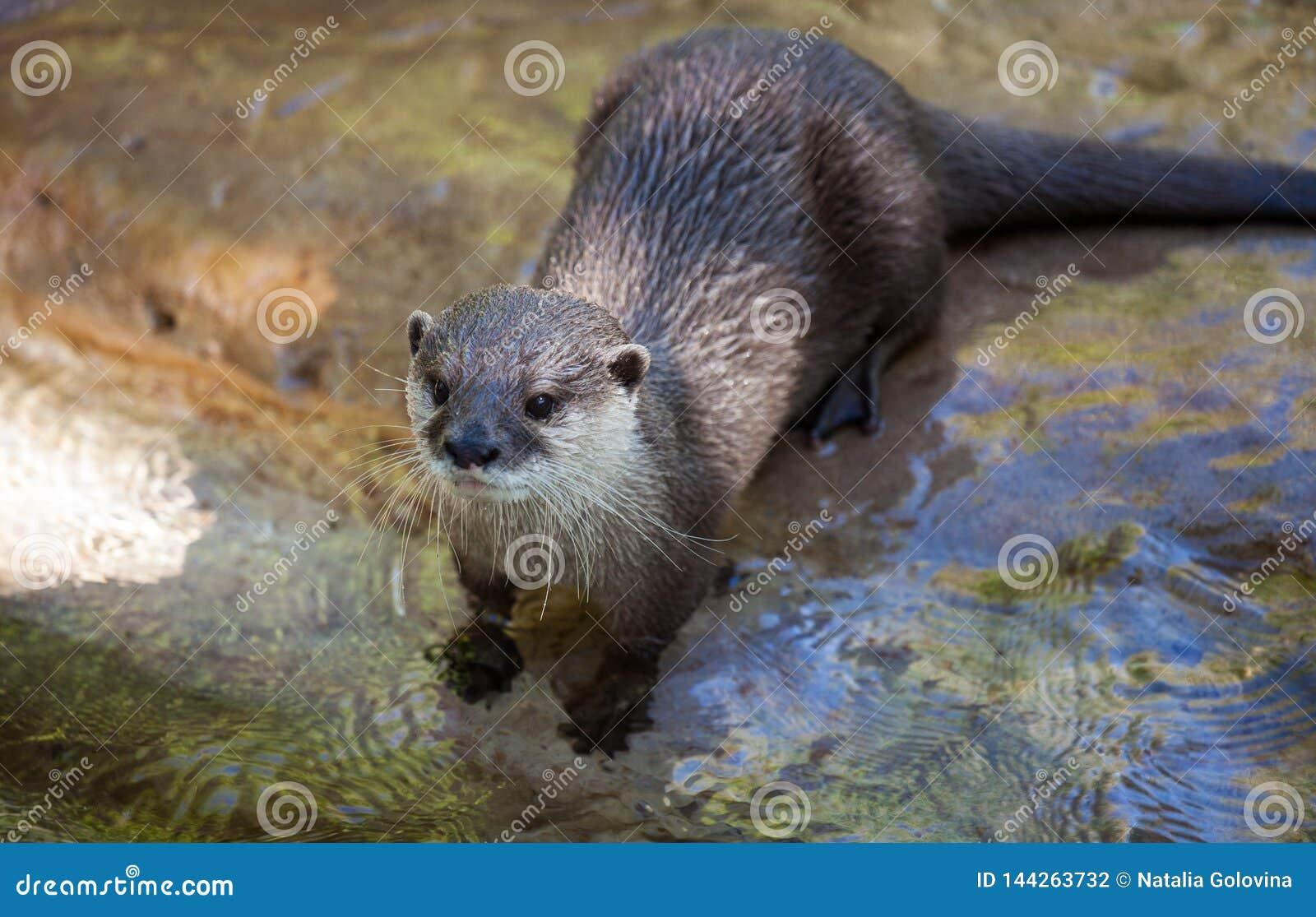 Oosterse klein-gekrabde die otter, Amblonyx-cinereus, ook als de Aziatische klein-gekrabde otter wordt bekend