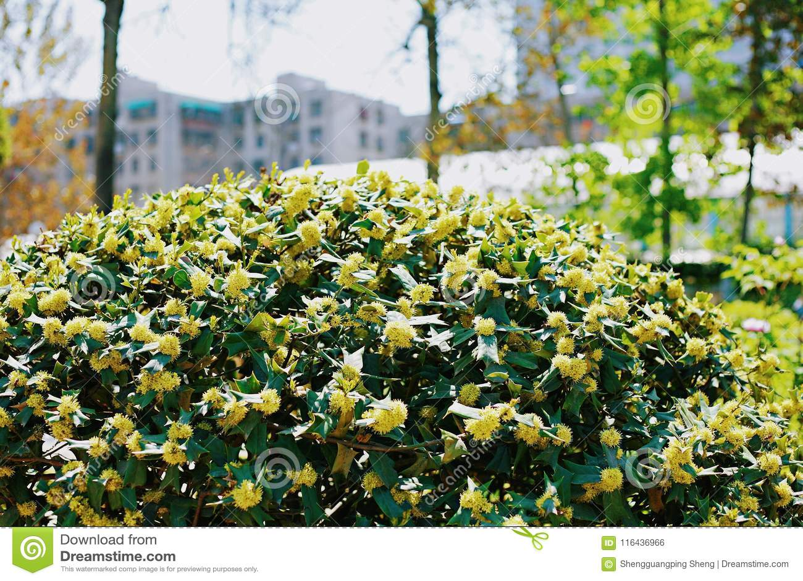 Oosterse paperbush