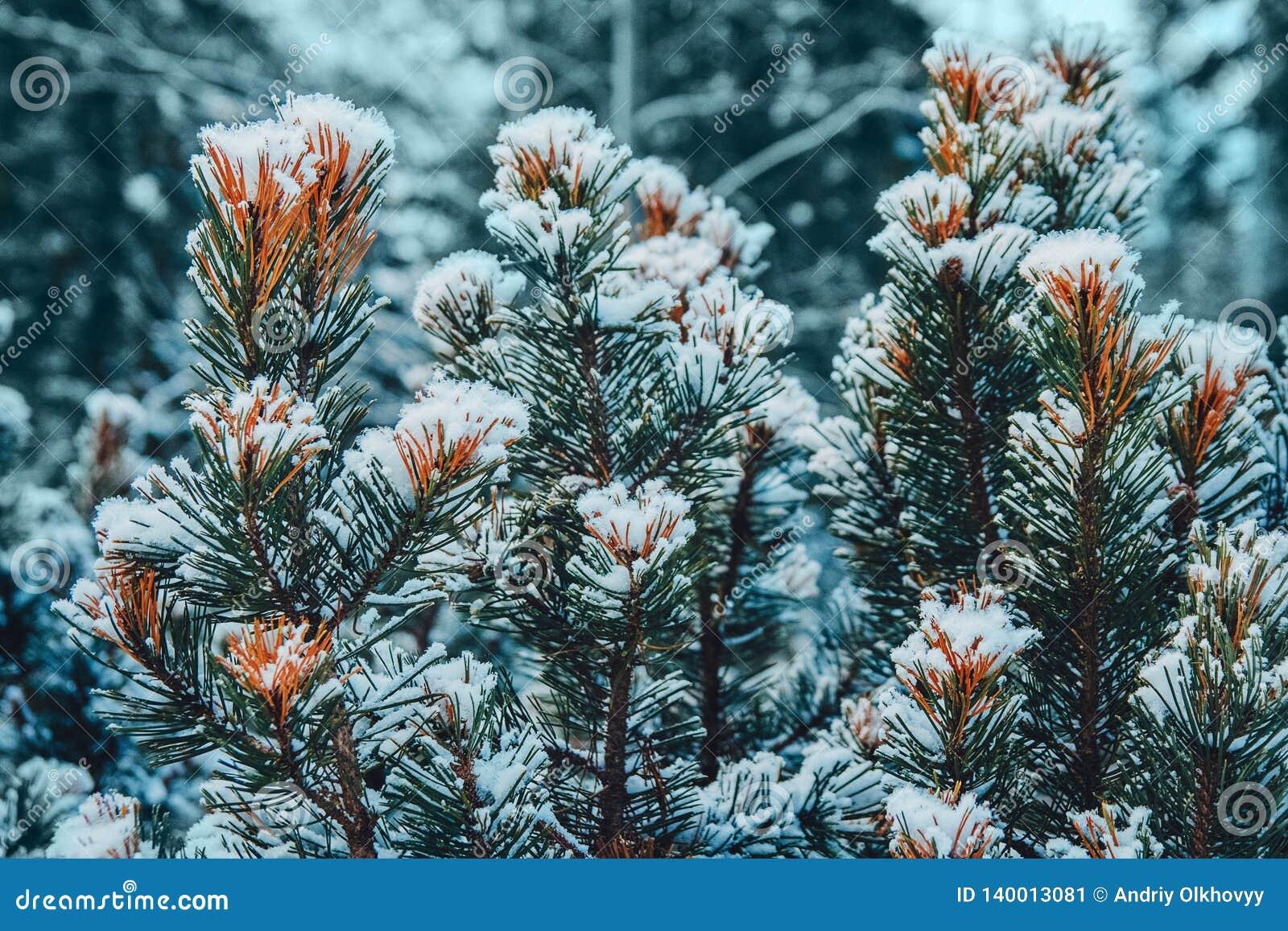 Op de groene takken van sparren of pijnboom is mooie witte sneeuw In de voorgrond een paar takken van pijnboom of sparren In