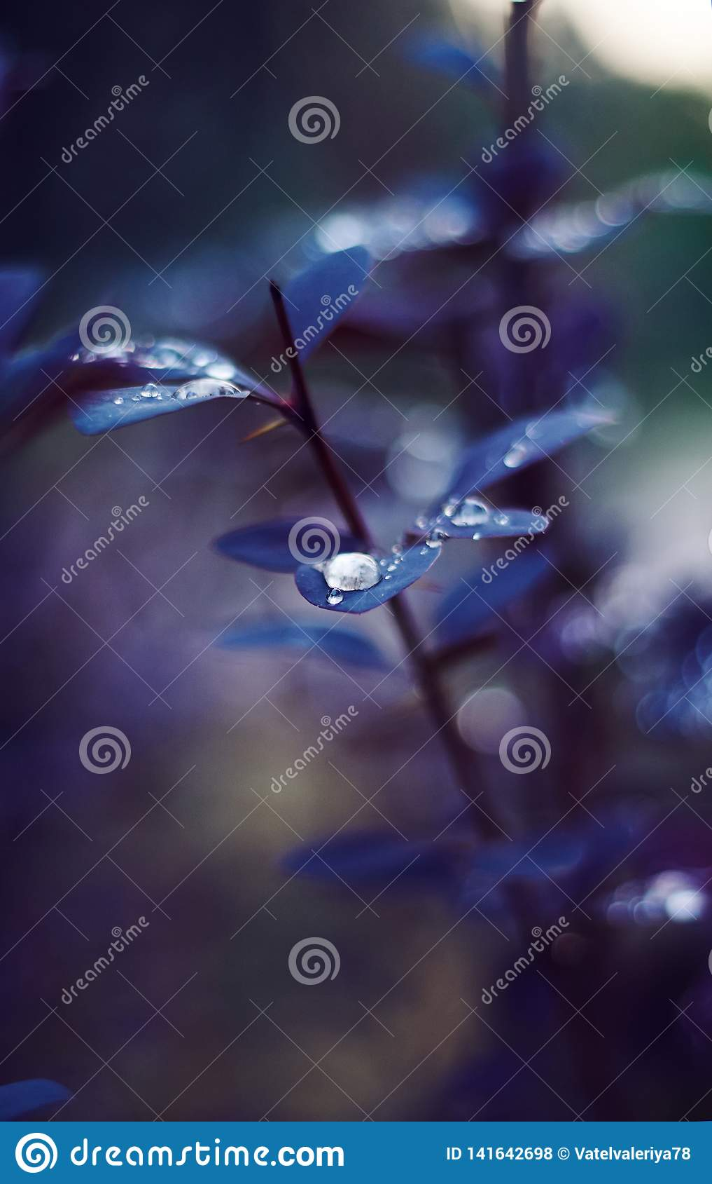 Op de mooie purpere bladeren van berberis verzamelde dauw