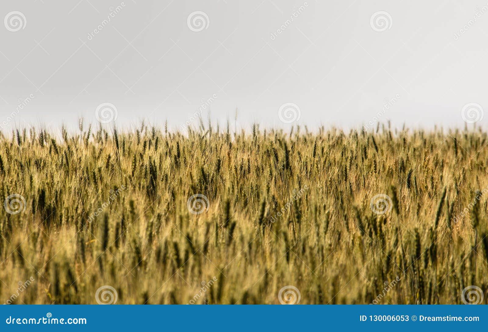 Op de oneindige gebieden, de cultuur van tarwe