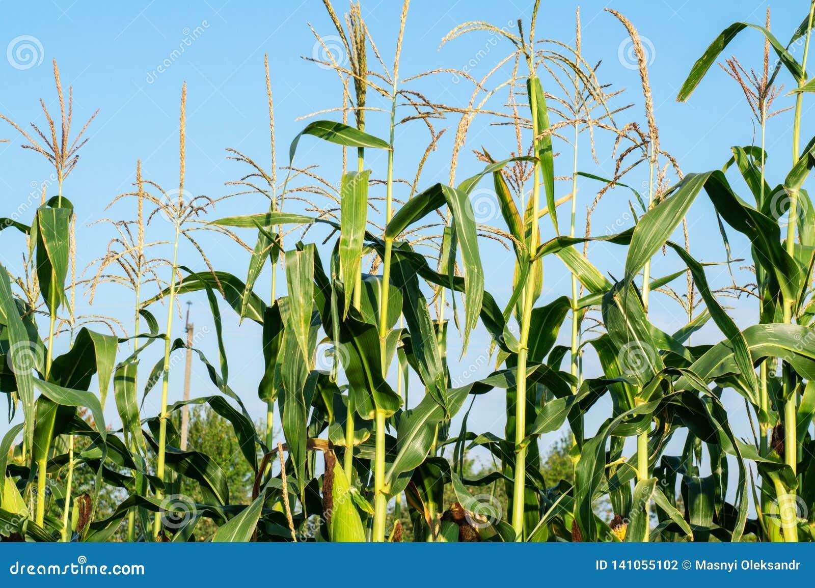 Op het gebied rijpt graan