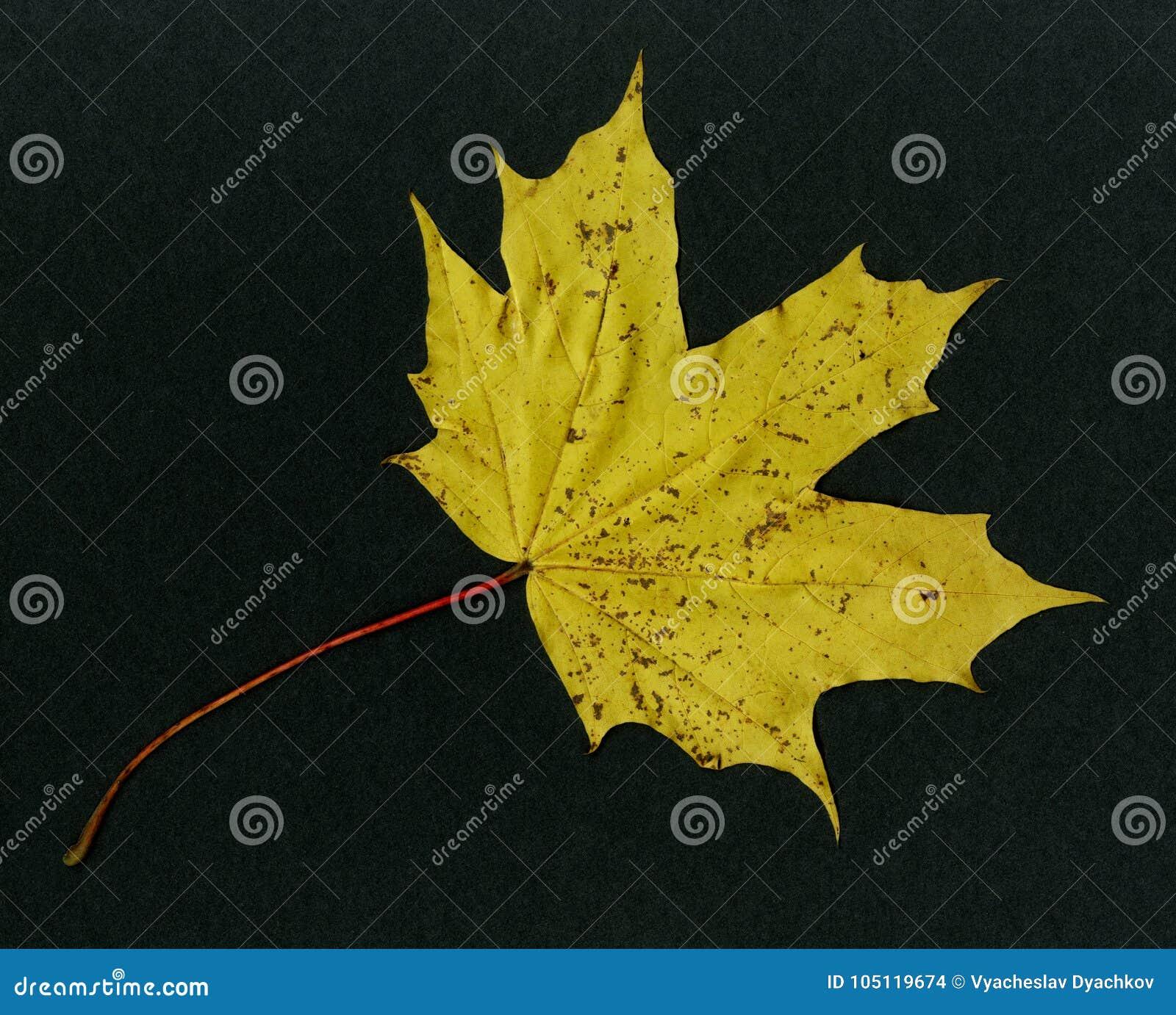 Op zwarte achtergrond - het gele hout van de blad Canadese esdoorn