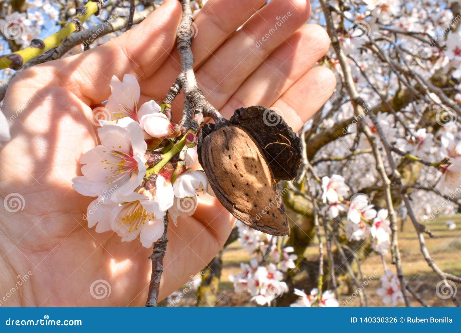 Open hand die een geoogste amandel met een tak van amandelboom tonen met sommige witte bloemen aan het eind in een zonnige dag va