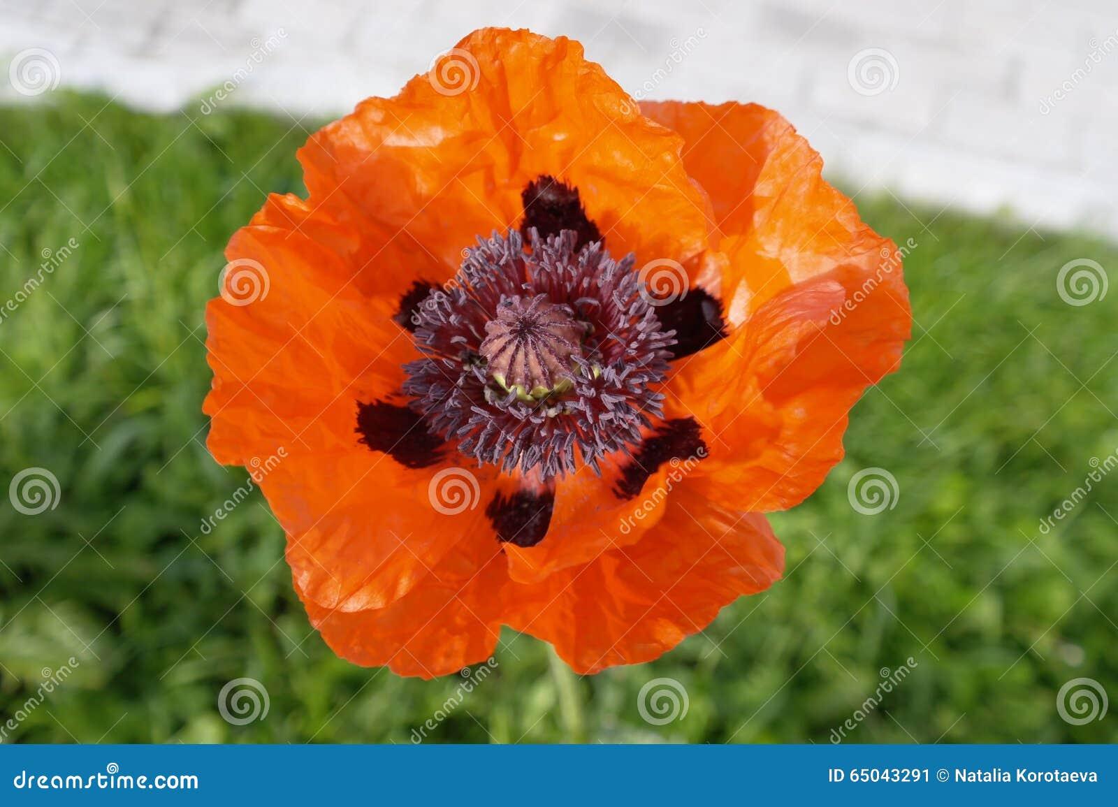 Open A Poppy Flower Stock Image Image Of Poppy Poppies 65043291