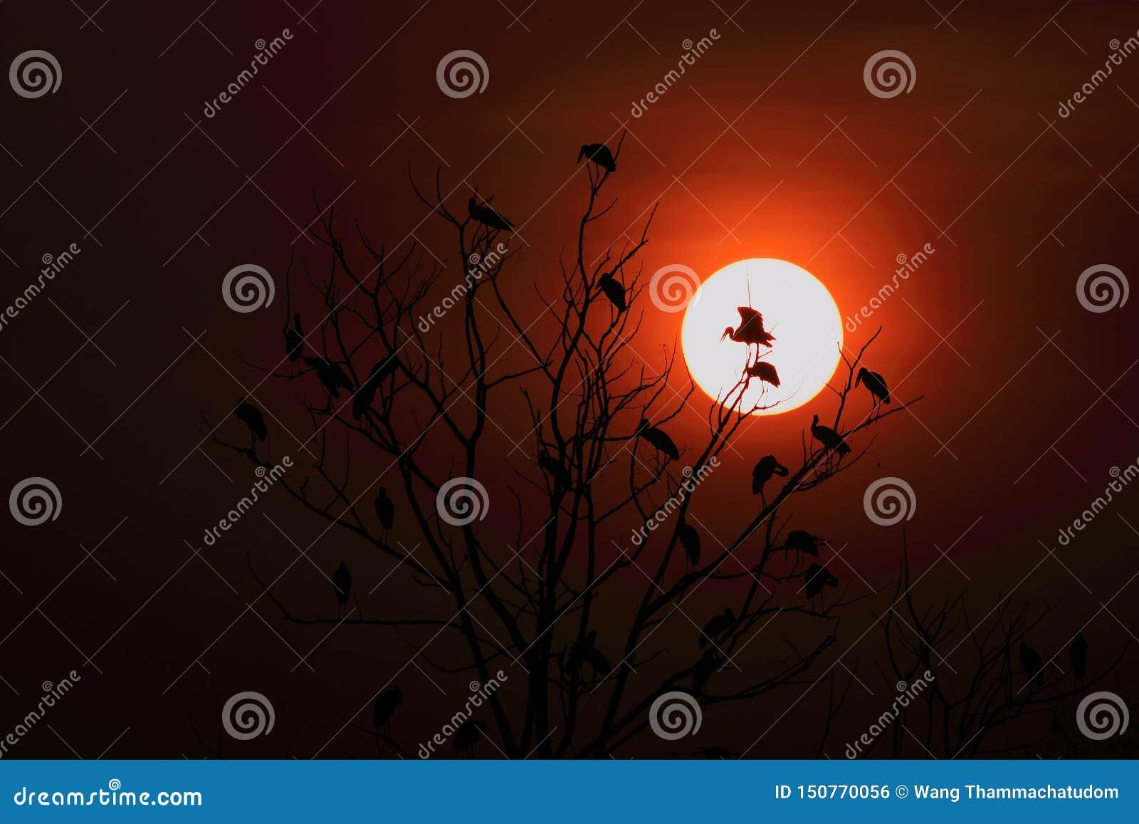 Openbill stork family and sunrise